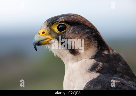 Lanner Falcon portrait (Falco biarmicus). - Stock Photo