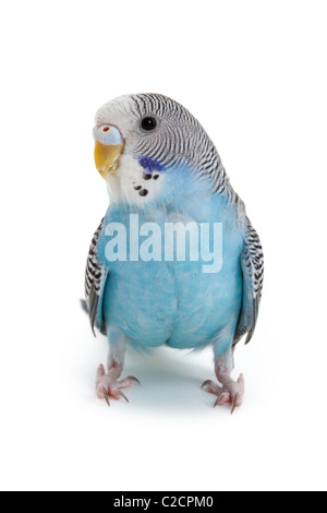 blue budgie close up shot - Stock Photo