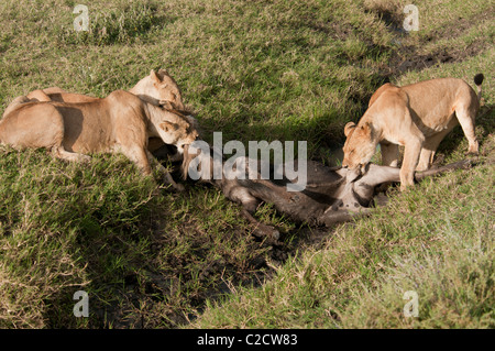 Stock photo of lions feeding on a wildebeest kill in a ditch. - Stock Photo