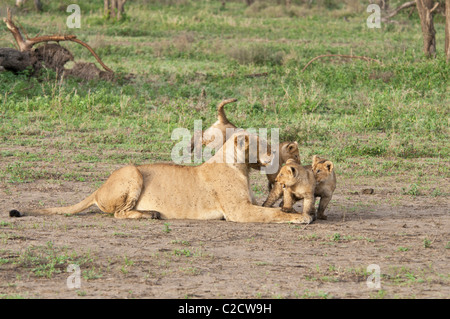 Stock photo of three lion cubs playing with their mom. - Stock Photo