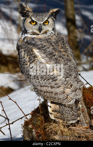 Great Horned Owl looking backwards on a tree stump in a snowy forest Muskoka North Ontario - Stock Photo