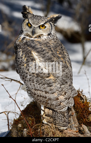 Great Horned Owl sitting on a tree stump in a snowy forest North Ontario - Stock Photo