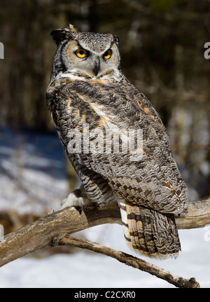 Great horned owl sitting on a dead tree branch in a snowy forest Muskoka North Ontario - Stock Photo