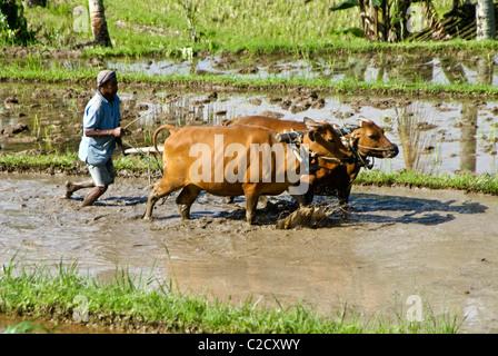 Plowing rice paddy with banteng, Jati Luwih, Bali, Indonesia - Stock Photo