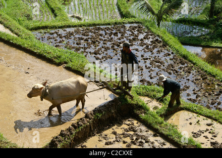 Farmers working in rice paddies, Jati Luwih, Bali, Indonesia - Stock Photo