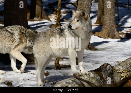 Female Gray Wolf or Timber wolf Canis Lupus standing on a log in a Muskoka North Ontario forest with snow in spring - Stock Photo