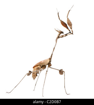 Wandering Violin Mantis, Gongylus gongylodes, in front of white background - Stock Photo