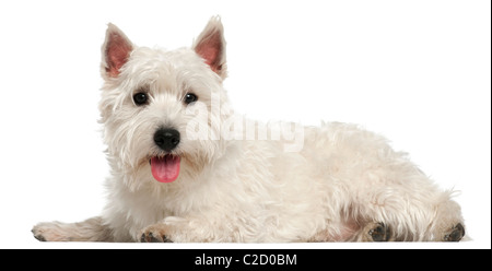 West Highland White Terrier, 10 months old, lying in front of white background - Stock Photo