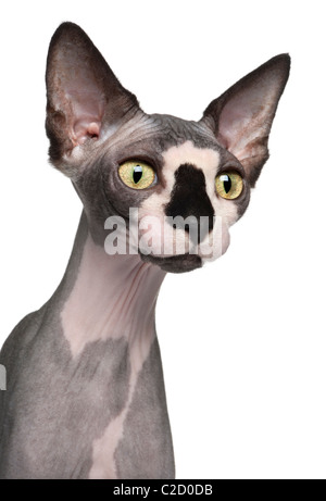 Close-up of Sphynx cat, 8 months old, in front of white background