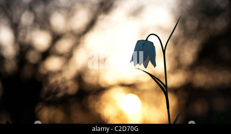 Fritillaria meleagris. Snakes head fritillary wildflower in the English countryside at sunrise. North meadow. Cricklade, - Stock Photo