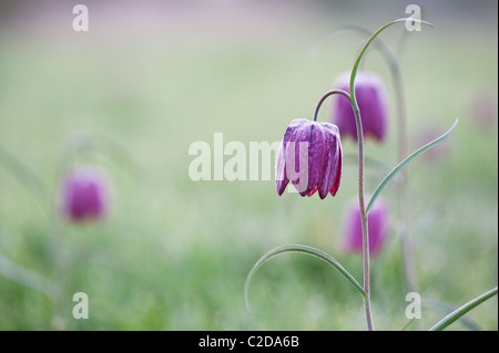 Fritillaria meleagris. Snakes head fritillary wildflowers in the English countryside. North Meadow, Cricklade, England - Stock Photo