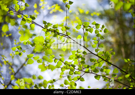 Fresh spring foliage of Fagus Sylvatica - Beech Tree - Stock Photo