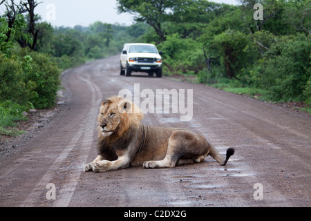 Male Lion (Panthera Leo). Vulnerable species. Lion lying on a tourist road in Imfolozi. - Stock Photo