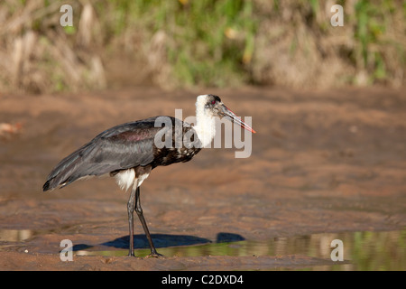Woolly-necked Stork (Ciconia Episcopus) - Stock Photo