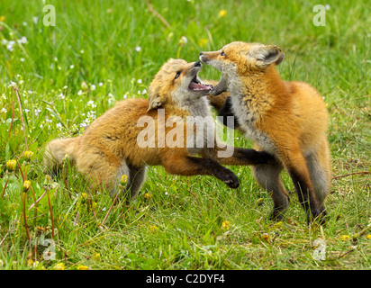 Red Fox babies at play. - Stock Photo