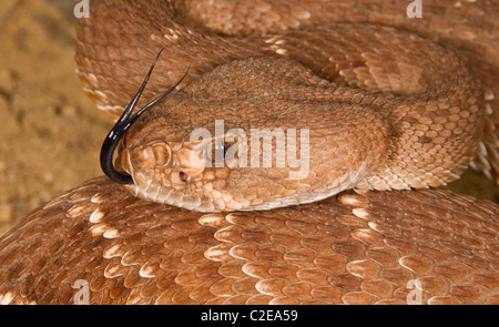 A Defensive Red Diamond Rattlesnake (Crotalus Ruber) - Stock Photo