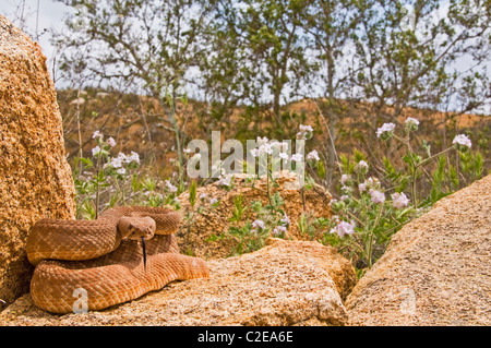 A Red Diamond Rattlesnake (Crotalus Ruber) - Stock Photo
