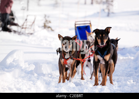 Sled dogs harnessed up, ready to run - Stock Photo
