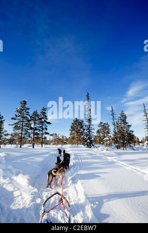A team of sled dogs ready to pull - Stock Photo