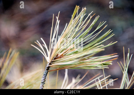 Pine needles from a pine tree along the Essens Trail in Bon Echo Provincial Park in Southern Ontario, Canada. - Stock Photo