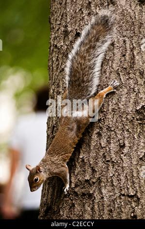 Eastern gray squirrel, Sciurus carolinensis, on the Tree in Union Square, Manhattan, New York City, USA - Stock Photo