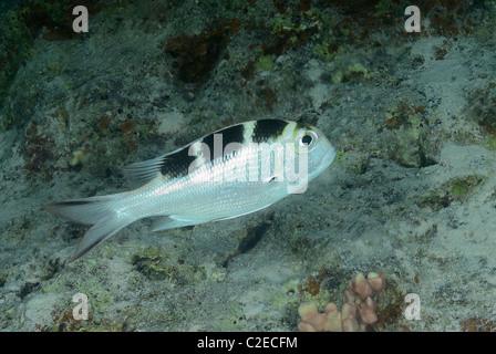 Big-eye bream, fish, Saint John Reefs, Red Sea, Egypt - Stock Photo