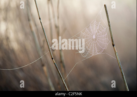Spiders web covered in misty dew attached to reeds in the English countryside - Stock Photo