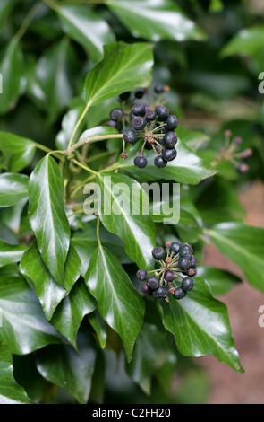 Black Berries, the Fruit of the Ivy, Hedera helix, Araliaceae - Stock Photo