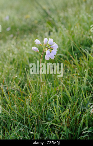 A Cuckoo flower or Lady's Smock (Cardamine pratensis) growing wild in a field on the Somerset levels. - Stock Photo