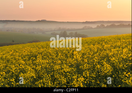 A field of rapeseed in Wiltshire on a misty morning at dawn. - Stock Photo