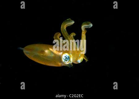 Bigfin reef squid, Sepioteuthis lessoniana, Sulawesi Indonesia. - Stock Photo