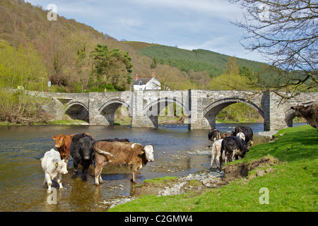 Cows bathe in the River Dee with the old stone bridge over the river at Carrog. North Wales. - Stock Photo