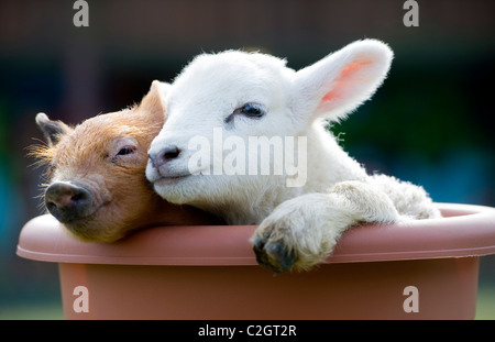 A cute newborn baby piglet and lamb cuddle on a farm, Devon, UK - Stock Photo
