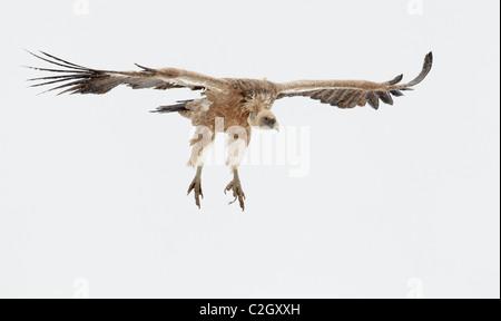 Griffon Vulture, Eurasian Griffon Vulture (Gyps fulvus), adult in flight, Pyrenees, Spain. - Stock Photo