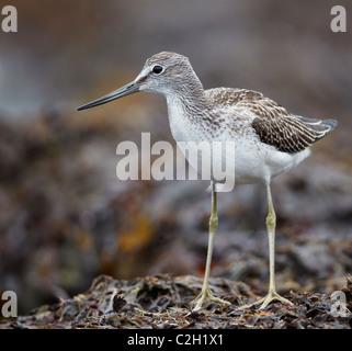 Greenshank (Tringa nebularia) standing on seaweed. - Stock Photo