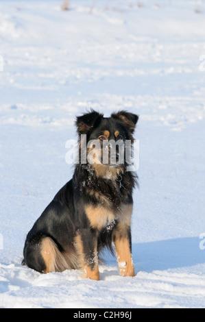 Australian Shepherd dog in snow - Stock Photo