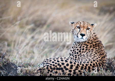 Cheetah, Acinonyx  jubatus, Seeking prey, Masai Mara National Reserve, Kenya, Africa - Stock Photo