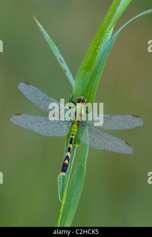 Eastern Pondhawk Skimmer Dragonfly Erythemis simplicicollis on blade of grass  Eastern USA - Stock Photo