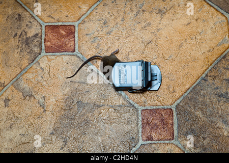 A mouse caught in a trap - Stock Photo
