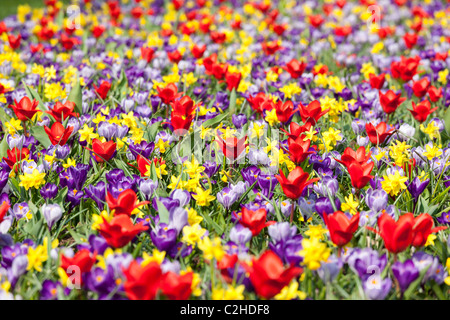 A mixed flower bed with daffodils tulips and crocuses like a wild meadow. Keukenhof Bulb Garden in Lisse Holland - Stock Photo