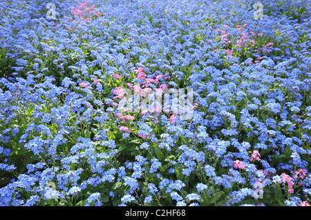 Mass of tiny blue and pink flowers - Forget me not - Myosotis - Stock Photo