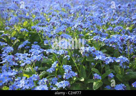 Mass of tiny blue flowers - Forget me not - Myosotis - Stock Photo