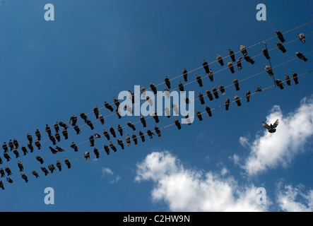 Pigeons on telephone wires - Stock Photo