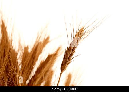 Wheat stalks - Stock Photo