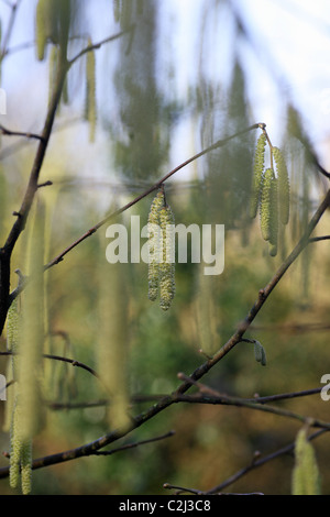 Common Hazel (Corylus avellana) male flowers catkins or lamb's tails spring growth - Stock Photo