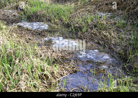 Frozen frog spawn, or frogspawn in water - Stock Photo