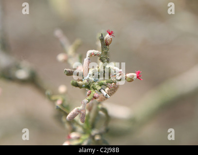Common Hazel (Corylus avellana) female red flowers and male catkins - Stock Photo