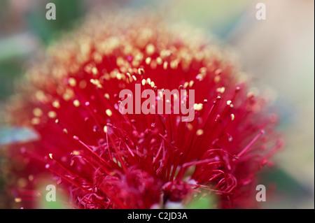 Callistemon viminalis 'Little John'. Bottlebrush 'Little John' flower - Stock Photo