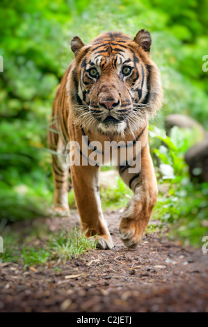 close up of a Sumatran tiger in the forest Stock Photo