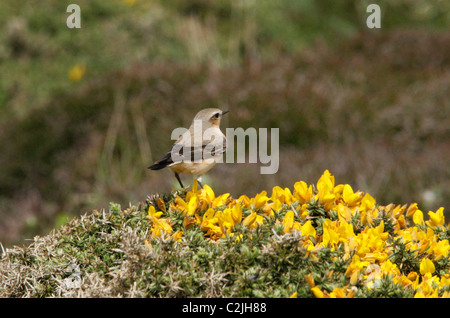 Northern Wheatear, Oenanthe oenanthe, Muscicapidae. Male Bird Perched on a Gorse Bush, Cornwall, UK. - Stock Photo